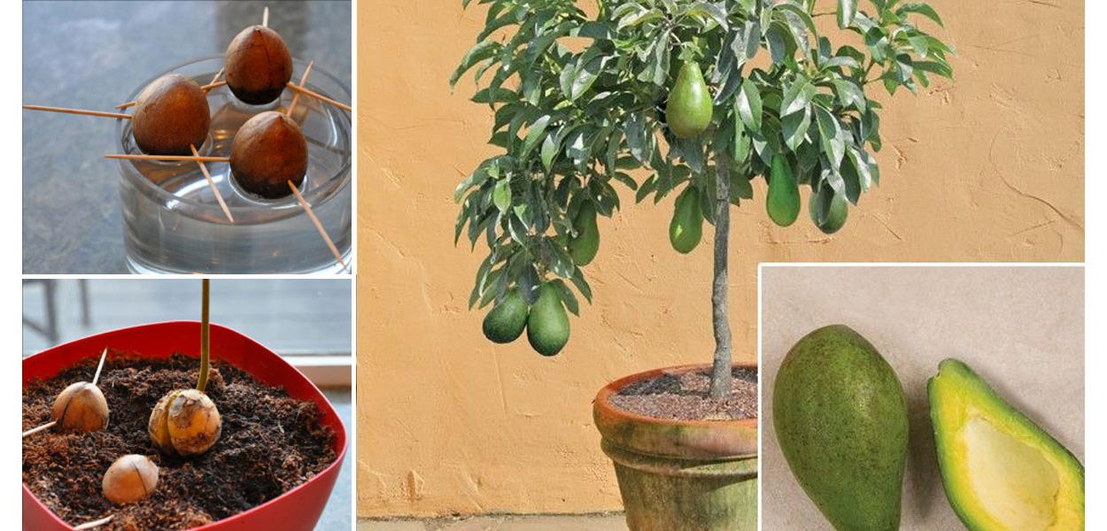 bespaar geld op avocado's. zo kweek je zelf een avocadoboom in een